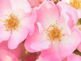 Rosa Mosqueta Ecológica - Rosa Mosqueta Aplicaciones