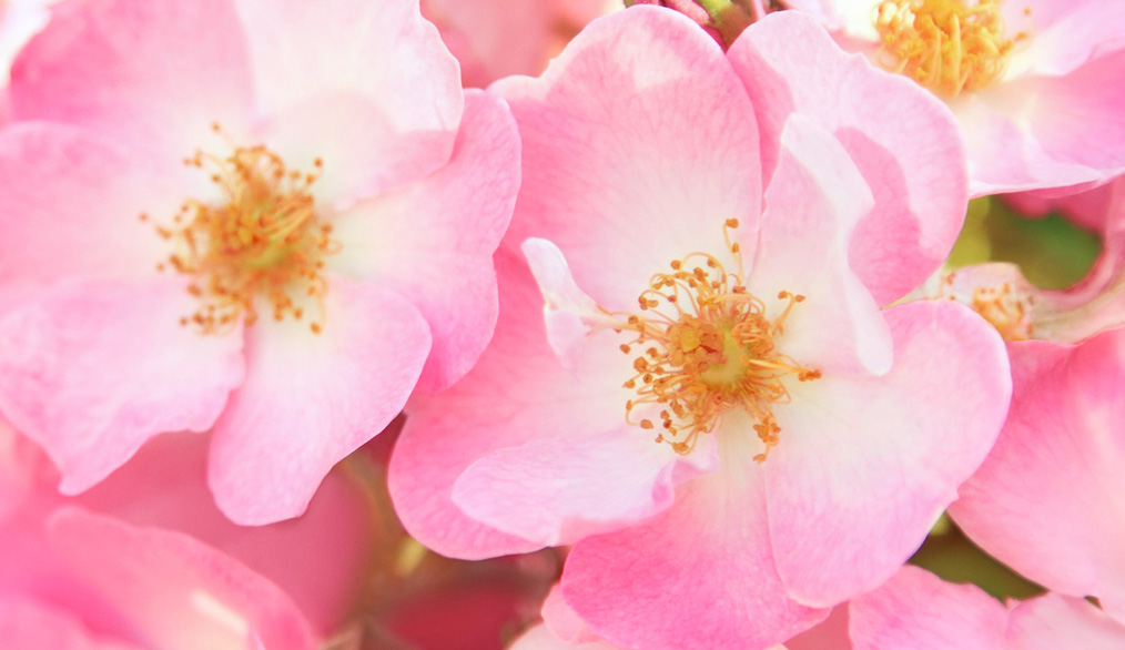 Rosa Mosqueta Ecológica
